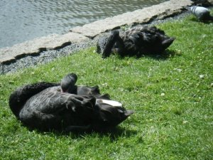 Sleeping black swans at Queen Mary's Gardens, London