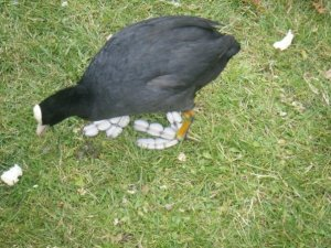 Coot at Hyde Park, London