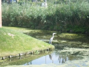 Stork by the water in Amsterdam