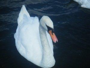 Swan in the Round Pound, Kensington Gardens, London