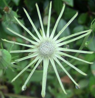 flowerspiny