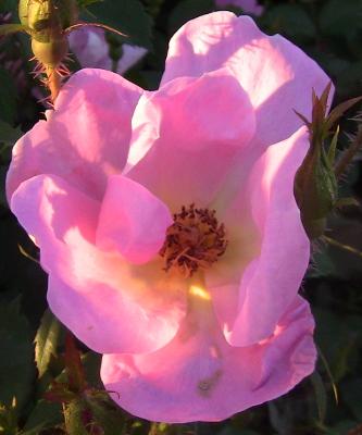 pinkrosesunset